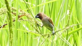 Bayawever die zaad van gras eten stock footage