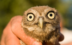 Baby owl. Rescued from certain deat waiting for re-introduction to wild Royalty Free Stock Photography