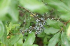 Bayberries Myrica pensylvanica on plum Island, Newburyport MA. Bayberries, scientifically known as Myrica Pensylvanica, are also known as candle berries, are stock images