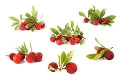 Bayberry стоковая фотография rf