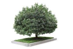 Bayberry tree Royalty Free Stock Photos