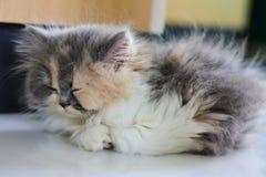 Bayby Perski kot spada uśpiony na podłodze fotografia royalty free