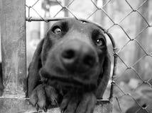 Bayerischer Jagdhund macht lustiges Gesicht Stockbilder