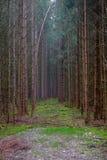 Bayerischer Wald von hohen Bäumen und von hellem Nebel Lizenzfreies Stockbild