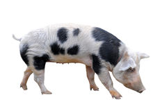 Bayeux pig royalty free stock images
