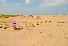 Bayhops flower on sandy beach in Thailand stock photo