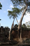 Bayon tree. Tree enclaving a temple in Siem Reap Stock Photography