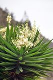 Bayonet plant in bloom. Outside Bolivar, Ecuador stock image