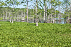 Bayou im Sommer Lizenzfreie Stockfotografie