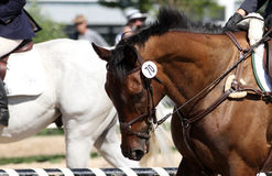 Bay thoroughbred event horse. Bay thoroughbred gelding at a mini-event, specifically in the stadium jumping ring, wearing a full cheek snaffle figure eight Stock Photo
