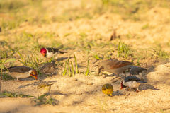 Baywing Cowbird Pecking Amongst Other Birds Royalty Free Stock Images