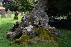 Baza Antyczny Cisowy, Północny Elmham Churchyard, Norfolk, UK fotografia stock