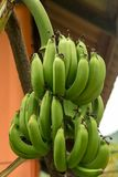 Baza tropikalnej rośliny trawa z owoc bananami zielenieje wiele owoc na gęstej gałęziastej tło flory teksturze naturalnej zdjęcie royalty free