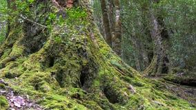 Baza wielka sosna zakrywająca w mech w sosnowej dolinie zdjęcia stock