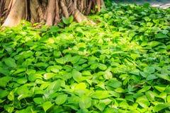 Baza zakrywająca zielonej rośliny tłem drzewo Pokojowy z gr fotografia stock