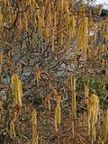 Bazie na skrzywionym drzewie fotografia stock