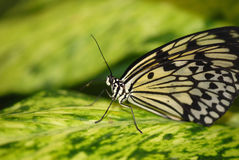 Bazillian Butterfly Royalty Free Stock Image