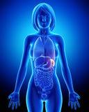 Bazo femenino y órganos abdominales en radiografía azul Fotografía de archivo