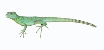 bazyliszkowa kolorowa zielona jaszczurka Obraz Stock