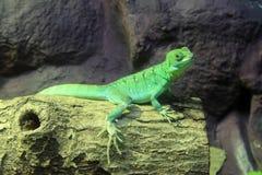bazyliszkowa zielona jaszczurka Fotografia Royalty Free