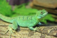 bazyliszkowa zielona jaszczurka Obrazy Stock