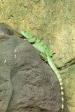bazyliszkowa zielona jaszczurka Fotografia Stock