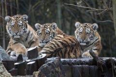 Bébé curieux de tigre, s dans une rangée Images libres de droits
