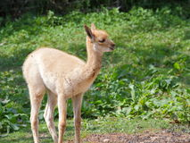 Bébé de lama de Vicugna - vue de côté Photographie stock libre de droits