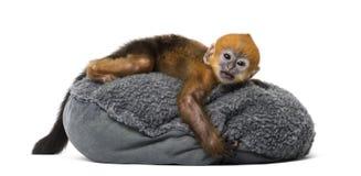 Bébé Francois Langur se trouvant sur un oreiller (1 mois) Image libre de droits