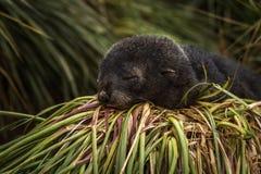 Bébé phoque antarctique de fourrure dormant dans l'herbe Photos libres de droits