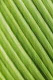 Bbackground of backlight fresh green Leaf. Texture background of backlight fresh green Leaf Royalty Free Stock Photography