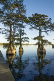 BBald cypress  in the lake. Swamp (bald), cypress (Taxodium distichum) in the lake and hanging from a Spanish moss Royalty Free Stock Images
