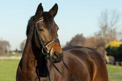 Bbeautiful brunisce la testa di cavallo con la briglia sopra un fondo dell'erba verde e del cielo blu Fotografia Stock