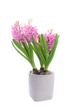 Bblossoming hyacinth flower in flowerpot Stock Image