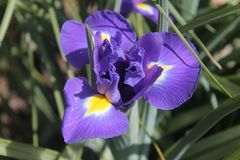 Bblue blooming crocus on a sunny spring day stock images