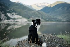Free Bborder Collie Sitting On A Bluff Overlooking Lake District National Park Royalty Free Stock Photos - 130164338