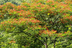 Bbutterflies feeding on red flowers of Royal Poinciana tree, Java, Indonesia Stock Photography