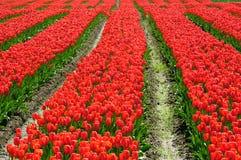 bc тюльпан красного цвета поля Стоковые Фотографии RF