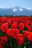 bc тюльпан поля Стоковая Фотография