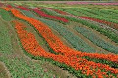bc тюльпан поля Стоковые Фотографии RF