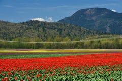 bc тюльпан поля Стоковые Изображения