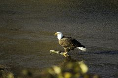 Adult Eagle In The Fraser Valley royalty free stock images