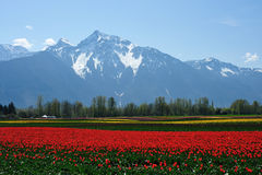 BC tulip field  Royalty Free Stock Image