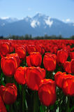 BC tulip field stock photography