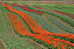 BC tulip field Royalty Free Stock Photos