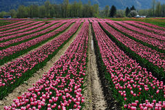 BC tulip field stock images