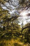 Sunny Cedar forest - Lebanon. The Bcharreh forest in Lebanon royalty free stock photography