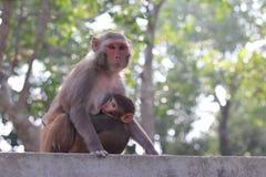 Mom monkey feeding her baby royalty free stock photo