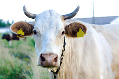 Beżowa krowa zdjęcie stock