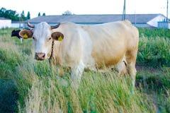 Beżowa krowa z żółtymi etykietkami obraz stock